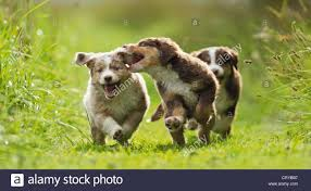 miniature australian shepherd 3 months australian shepherd pup stock photos u0026 australian shepherd pup
