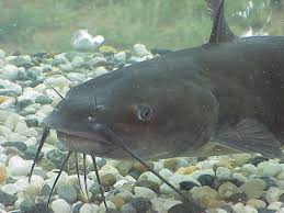 Catfish Backyard Pond by Backyard Aquaculture U2013 Raise Fish For Profit Worldwide Aquaculture