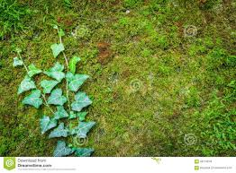 poison ivy climbing on wall stock photo image 58719243
