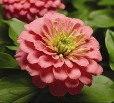 Zinnias Flowers Common Zinnia Umass Amherst Greenhouse Crops And Floriculture