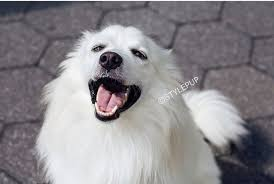 american eskimo dog new zealand 10 things only eskie pup parents understand barkpost