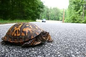faq u0027s box turtle u0026 i turtle