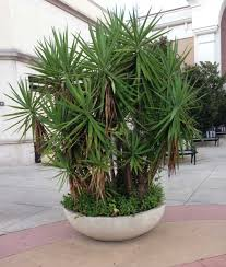 Most Difficult Plants To Grow Growing Yucca Plants Care In The Home And Garden