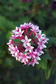 pentas flower 63 best flowers pentas images on flower gardening