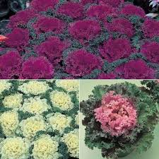 ornamental kale home garden collection f1 harris seeds