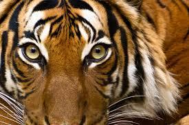 eye of a tiger by akadime on deviantart