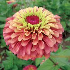 zinnia flower zinnia flower seed cut flowers large blooms 50