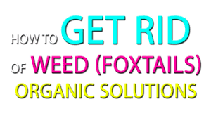 how to get rid of weeds foxtails organic solutions youtube