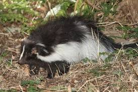 how to get rid of skunk smell on pets