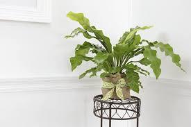 asplenium nidus indoor plant in the corner stunning indoor