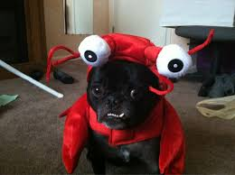 Lobster Costume Bear Is Not As Excited About His Lobster Costume As I Am Pugs