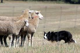 incrocio border collie x australian shepherd world u0027s smartest dog border collie can identify 1 022 objects