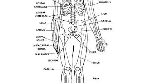 human skeleton anatomy printable free printable human skeleton