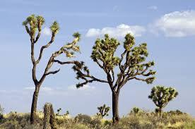joshua trees joshua tree national park u s national park service
