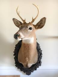 Fake Deer Head Wall Mount Taxidermy Deer Head Made By Me 8 Point Buck Shoulder Wall