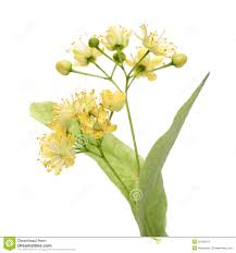 linden flower yellow linden flower royalty free stock images image 25182579