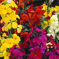 wall flowers wallflower most scented mix plants thompson