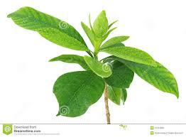 100 gardenia flower philippine national flower is the