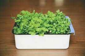 Container Gardening Peas - growing pea shoots step by step the splendid table