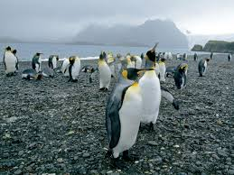 penguin pictures bird wallpapers national geographic
