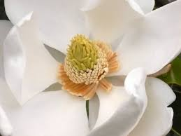 the 25 best magnolia meaning ideas on