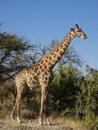 what eats a giraffe