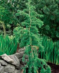 trees for tight spaces finegardening