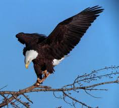 eagles are coming back strong startribune com