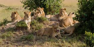 african safari animals africa u0027s big 5 facts about lions leopards elephant buffalo