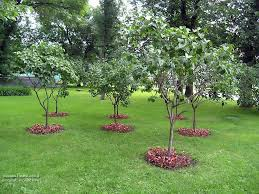 small trees for green garden idea best small trees for