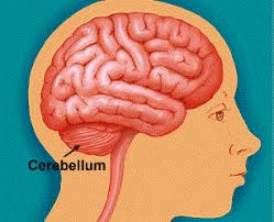 What Is The Main Function Of The Medulla Oblongata Structure And Function Of Brain New Health Guide