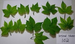 Viroid Diseases In Plants - hop humulus lupulus viroid diseases pacific northwest pest