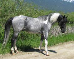 pinto horse color in this example roan refers to all large