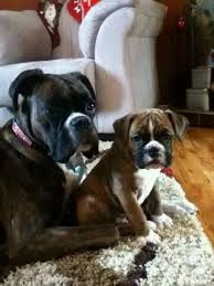 boxer dog meme 17 best images about boxer u0027s on pinterest pets puppys and too cute