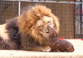 lion dogs 500 lb lion and dachshund are best friends