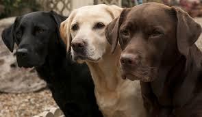 afghan hound and labrador retriever trivia week of july 31 2017 the labrador retriever all