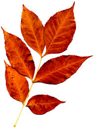 thanksgiving leaves clipart sprig of orange fall leaves picture free photograph photos