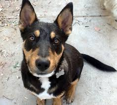 australian shepherd with german shepherd doberman rottweiler german shepherd mix japqkxsr0 dogs