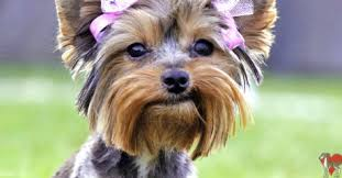 haircuts for yorkie dogs females yorkie haircuts for females google search bailee pinterest