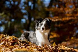 t r australian shepherds free images puppy autumn trees leaves vertebrate lying