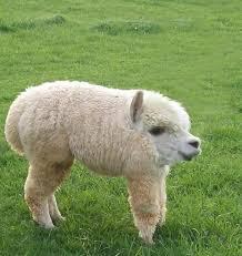 Alpaca Sheep Meme - 28 animals that look way better with no necks