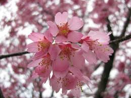 morning blossom wallpapers 162 best cherry blossoms images on pinterest cherry blossoms