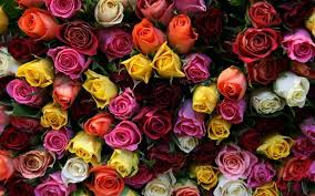 multicolor roses the meaning of colours mind and soul