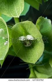 Bells Of Ireland Flower Bells Of Ireland Stock Images Royalty Free Images U0026 Vectors