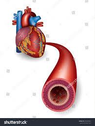 Heart Anatomy Arteries Healthy Artery Heart Anatomy Stock Vector 263822963 Shutterstock