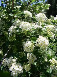 montana native plants ninebark physocarpus malvaceus blackfoot native plants