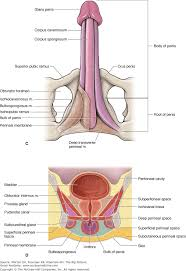 The Anatomy Of The Male Reproductive System Chapter 13 Male Reproductive System The Big Picture Gross