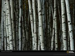 white birch trees camo pinterest birch landscaping and