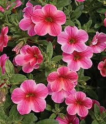 Types Of Garden Flowers - annual flower seeds u0026 plants buy u0026 grow flowers bulbs burpee com