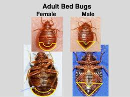 Ohio travel bug images Bed bug biology and research central ohio bed bug task force jpg